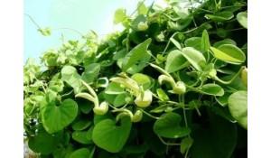药用植物栽培与加工